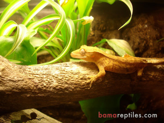 Juvenile Crested Gecko hanging out in his Tropical Living Vivarium