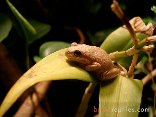 Closeup of tree frogs on orchids in a large Tropical Living Vivarium